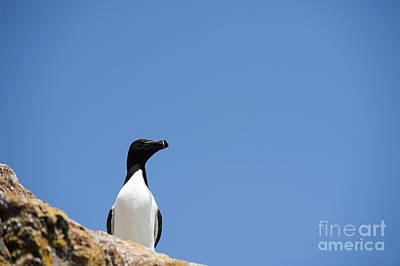 Razorbill Photograph - Look At Me by Anne Gilbert