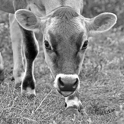 Jersey Cow Photograph - Look Into My Eyes - Jersey Cow Bw by Gill Billington