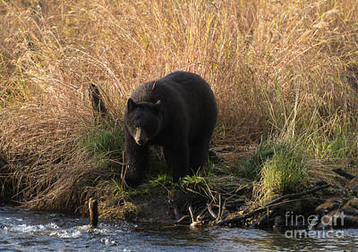 Alaska Photograph - Looking For A Meal by Mike  Dawson