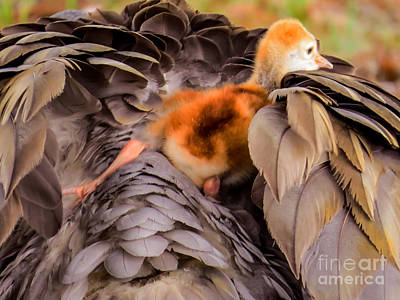 Sandhill Crane Photograph - Looking For Mother's Warmth by Zina Stromberg