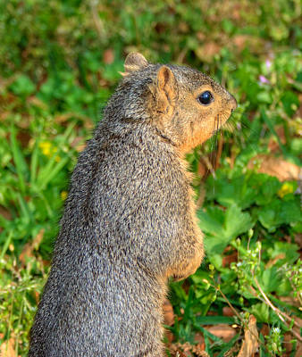 Squirrel Photograph - Looking For My Fellow Squirrels by Ester  Rogers