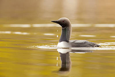 Loon Photograph - Looking For The Intruder by Tim Grams