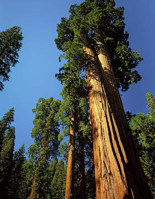 Looking Up A Giant Sequoia Tree Print by Greg Probst