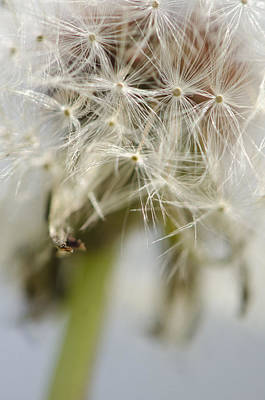 Dandelion Photograph - Looking Up by Julie Wynn