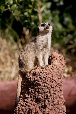 Meerkat Photograph - Lookout Post by Michelle Wrighton