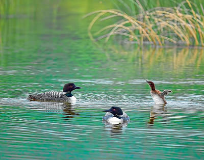 Loon Family Print by Donna Caplinger