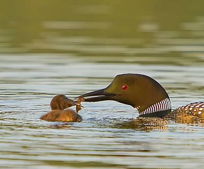 Loon Feeding Chick Print by John Vose