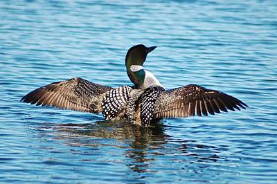Loon Spreading Wings 21 Print by Bear Paw Resort Photography