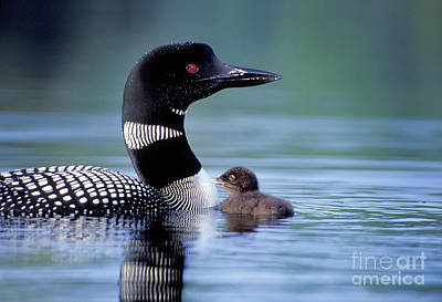 Loon Photograph - Loon With Chick #16 by Jim Block