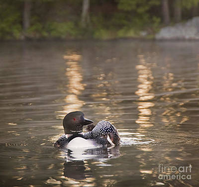 Loon Photograph - Loon With Two Chicks At Dawn by Jim Block