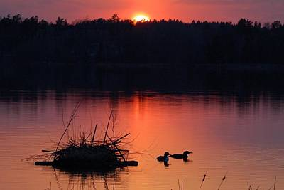 Loons At Nest 2 Print by Bear Paw Resort Photography