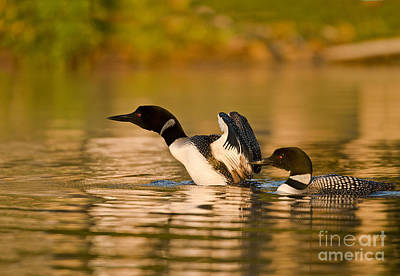 Bird Photograph - Loons by Michael Cummings