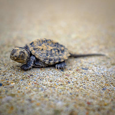 Small Turtle Photograph - Lost In A Concrete Jungle by Chris Bordeleau
