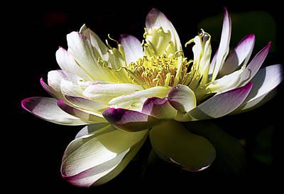 Lotus 3 Print by Julie Palencia