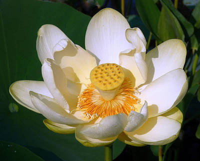 Whalen Photograph - Lotus Blossom # 1 by Jim Whalen