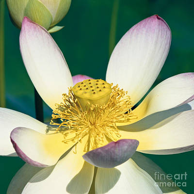 Lotus Blossom Print by Heiko Koehrer-Wagner