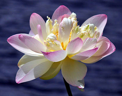 Lotus By The Lake Print by Gail Butler