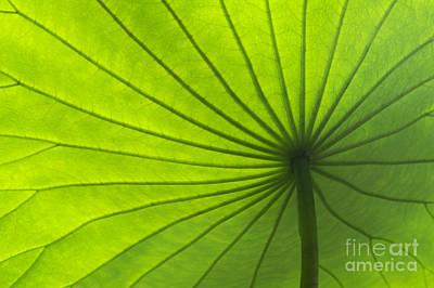 Lotus Leaf Print by Tim Gainey