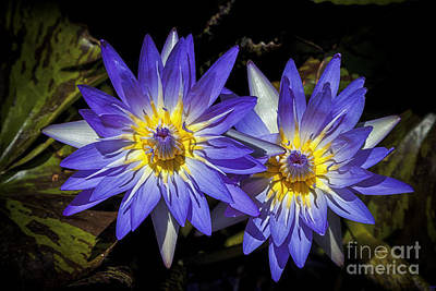 Abstract Photograph - Lotus Love by David Millenheft
