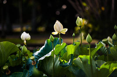 Lotuses In The Evening Light Print by Jenny Rainbow
