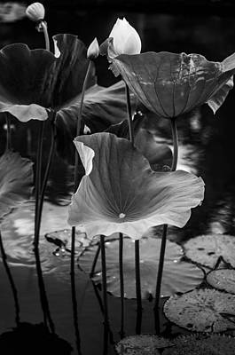 Lotuses In The Pond II. Black And White Print by Jenny Rainbow