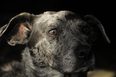 Catahoula Photograph - Louisiana Catahoula Leopard Dog by Valerie Collins
