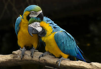 Parrot Photograph - Love At First Bite by Dave Dilli
