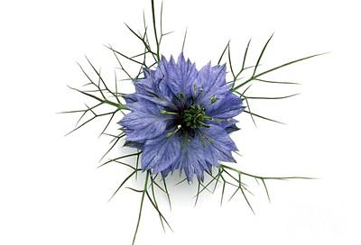 Love-in-a-mist Photograph - Love In The Mist by Th Foto-werbung