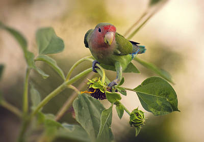 Lovebird Photograph - Lovebird On  Sunflower Branch  by Saija  Lehtonen