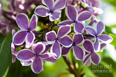 Lovely Lilacs Print by Joann Copeland-Paul