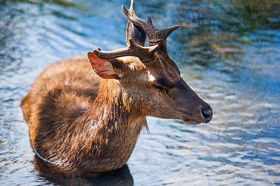 Lovely Time In Water 2. Male Deer In The Pampelmousse Botanical Garden. Mauritius Print by Jenny Rainbow