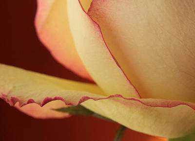 Ivory Rose Photograph - Love's Finest Edge by Connie Handscomb