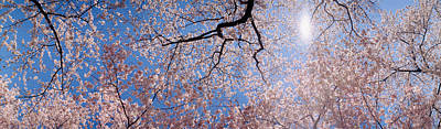 Cherry Blossoms Photograph - Low Angle View Of Cherry Blossom Trees by Panoramic Images