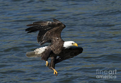 American Bald Eagle Photograph - Low Over The Water by Mike  Dawson
