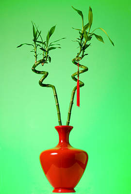Pompons Photograph - Lucky Bamboo by Alexey Stiop
