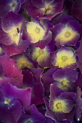 Flower Photograph - Lucky Seven Hydrangeas by Scott Campbell