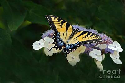 Luminous Butterfly On Lacecap Hydrangea Print by Byron Varvarigos