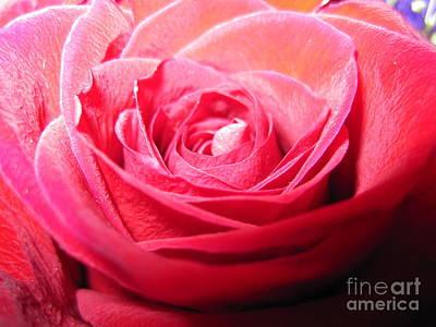 Luminous Drawing - Luminous Pink Rose 3 by Tara  Shalton