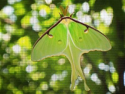 Luna Moth Original by Joy Nichols