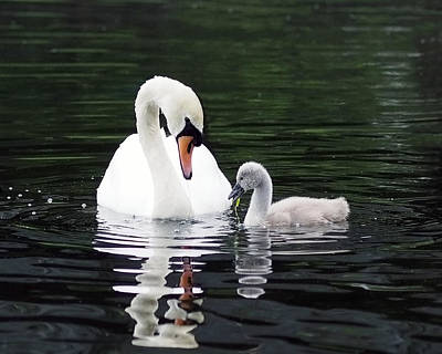 Lunchtime For Swan And Cygnet Print by Rona Black