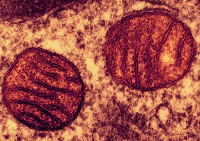 Eukaryotic Photograph - Lung Mitochondria by Ami Images/dartmouth College - Louisa Howard
