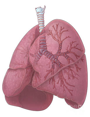 Lungs And Bronchi Print by Evan Oto