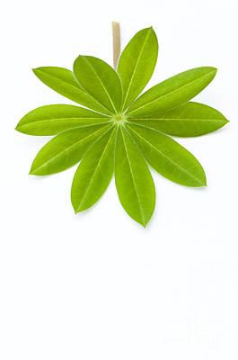 Lupin Leaf Print by Anne Gilbert