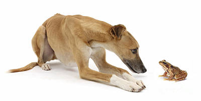 Lurcher Dog And Common Frog Print by Mark Taylor