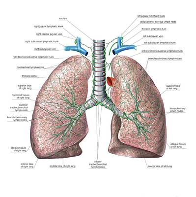 Lymphoid System Of The Lungs Print by Asklepios Medical Atlas