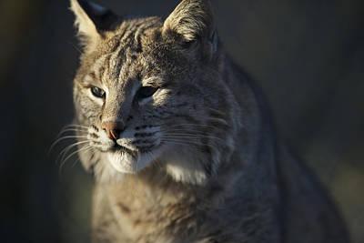 Lynx Portrait #6 Original by Matt Plyler