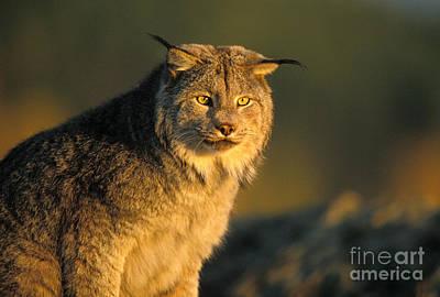 Lynx Print by Ron Sanford