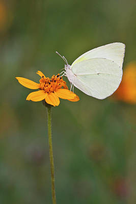Nature Center Photograph - Lyside Sulphur (kricogonia Lyside by Larry Ditto