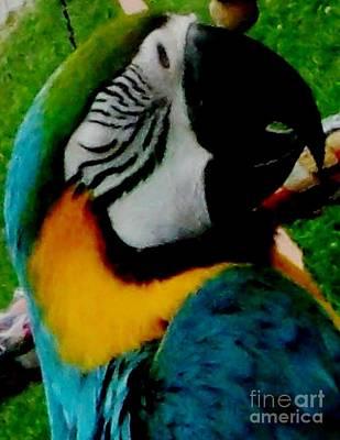 Macaw Parrot Taking A Nap Print by Gail Matthews
