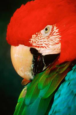 Macaw Portrait Print by Anonymous